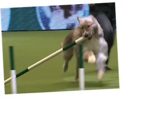 This Video Of Kratu The Rescue Dog At Crufts 2020 Is A Wild Ride