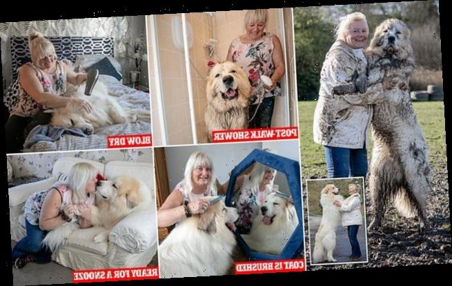 Boris the Pyrenean mountain dog is sure to be a huge hit at Crufts