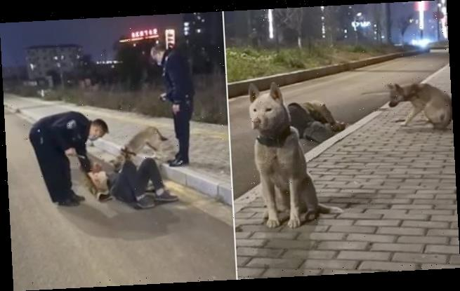 Loyal dogs guard their drunk owner after he 'passed out on a street'