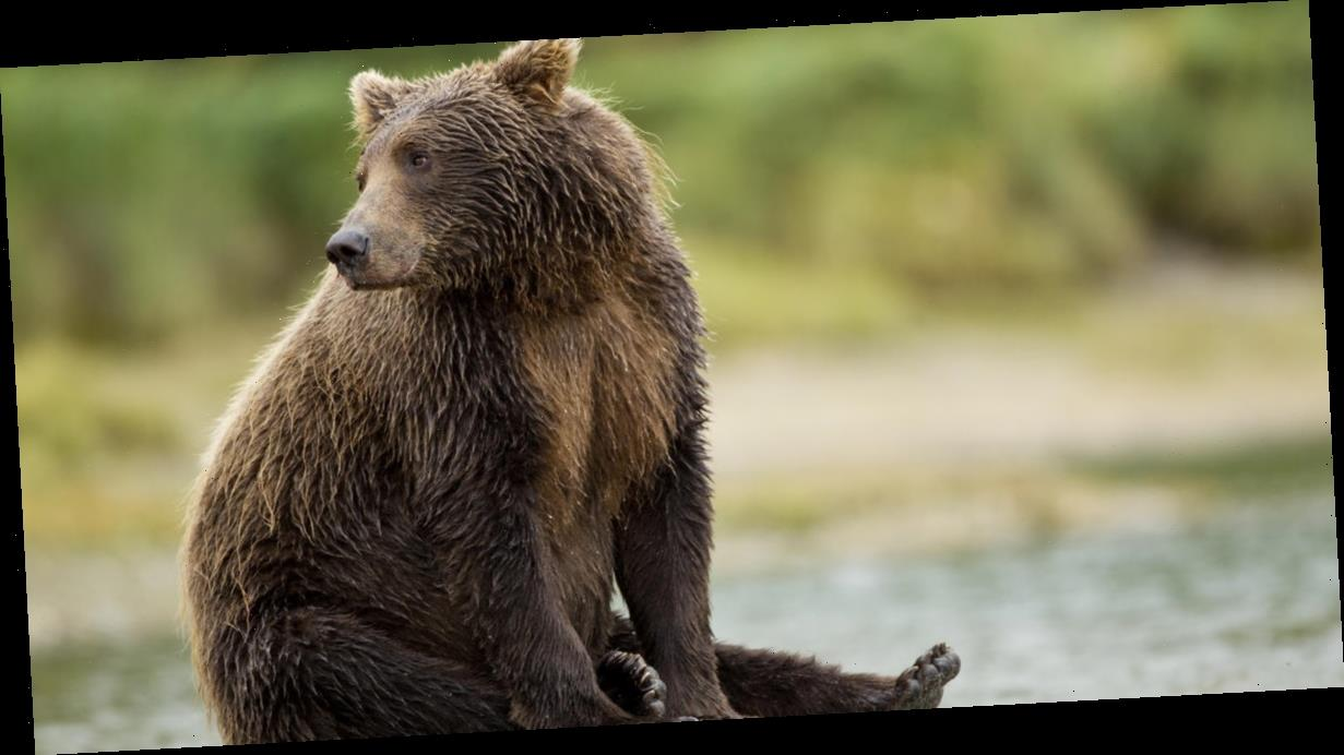 Fat Bear Week is back — you can now vote for your favorite brown bear at this national park in Alaska
