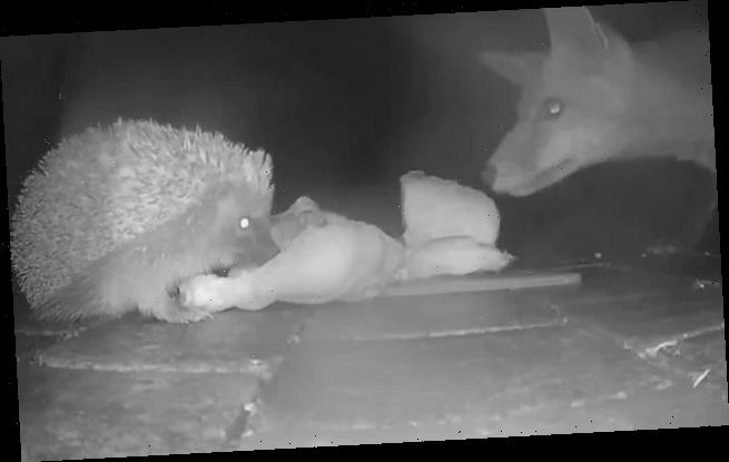 Fox and hedgehog are caught on camera sharing a roast chicken dinner