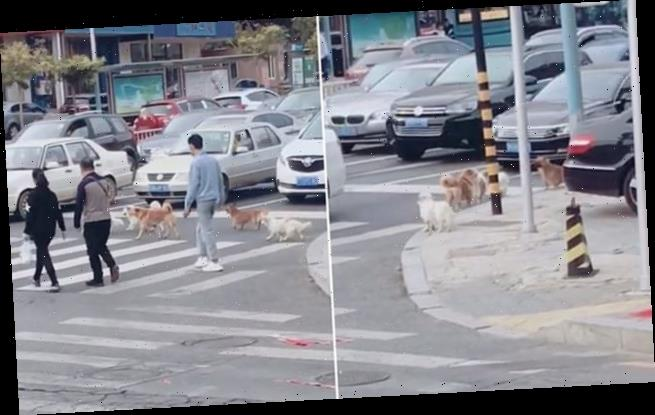 Dogs wait for the green light before crossing the road