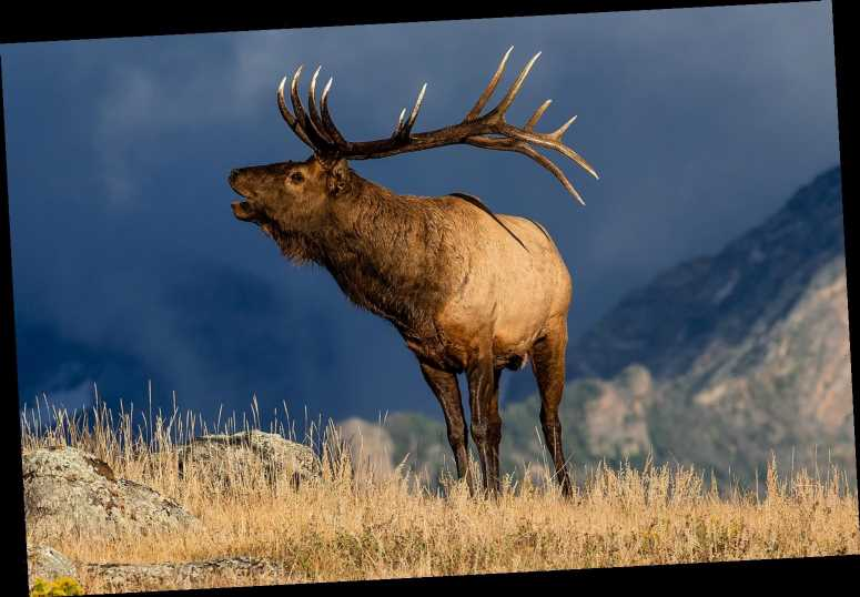 Man's Kidney Is Punctured and Split in 2 After Elk Gores Him On Colorado Golf Course: It 'Freaked Out'
