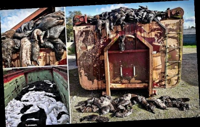 Containers at Danish mink farms are overflowing with dead animals