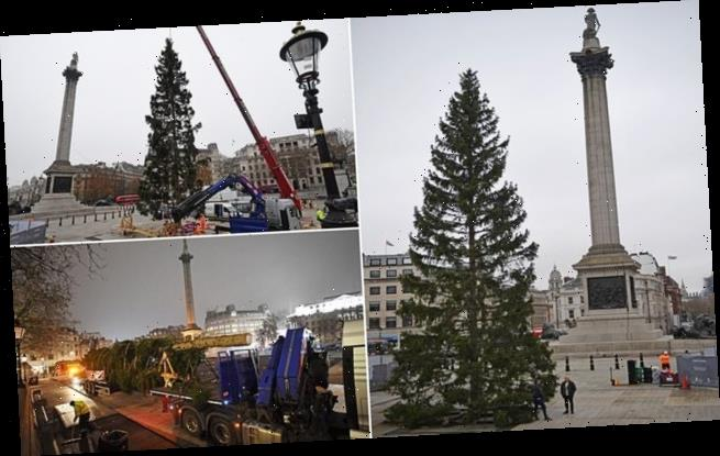 Trafalgar Square's Christmas tree arrives ahead of virtual ceremony