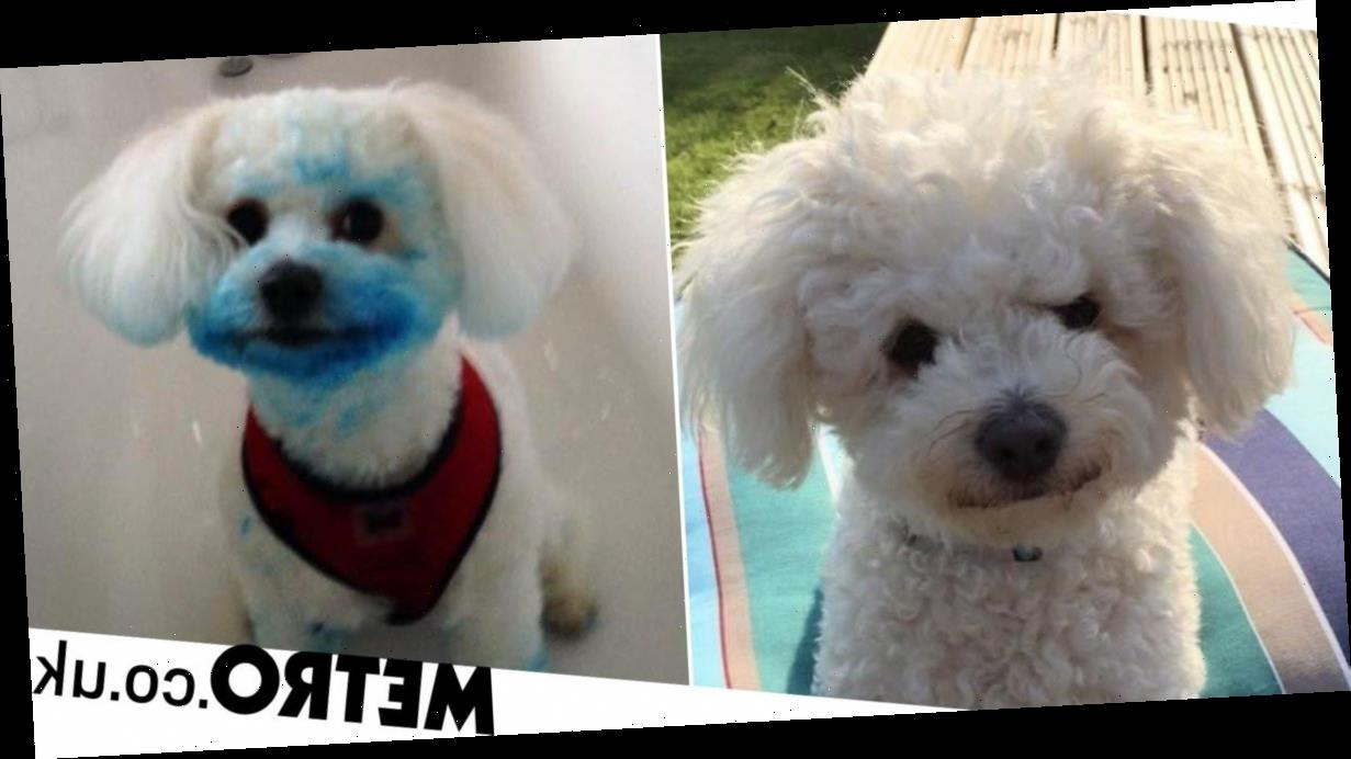 Dog turns blue after accidentally chewing an ink cartridge