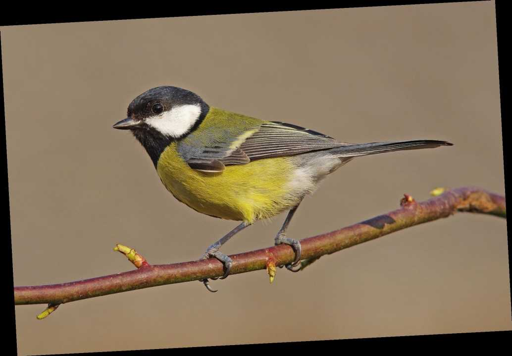 Great tits could be wiped out by climate change in near future