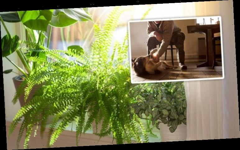 House plants: Britons warned over toxic plants that can make pets ill – best ones to buy