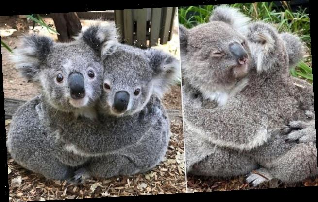 Adorable photographs show cute koalas cuddling at a reptile park