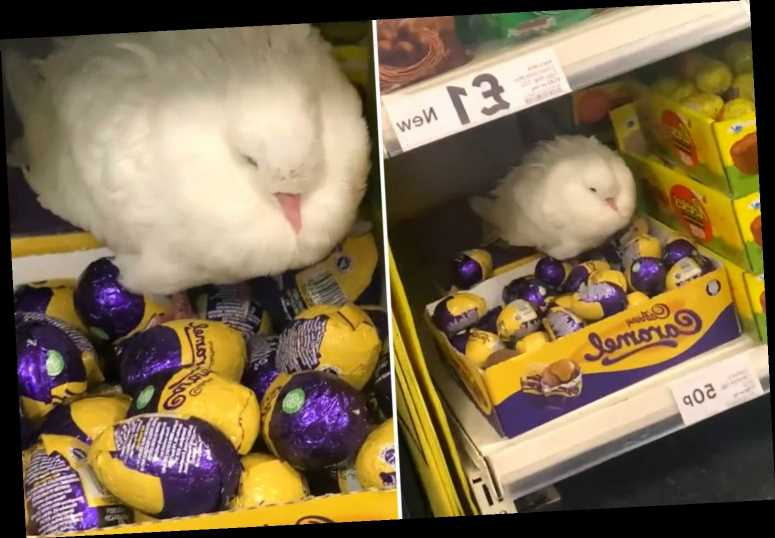 Stunned shoppers spot confused pigeon guarding a box of Cadbury chocolate eggs at Tesco