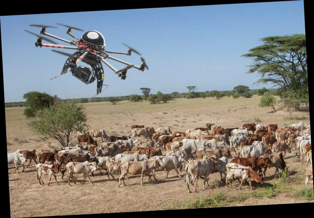 Drones are replacing cowboys to track cattle in new study