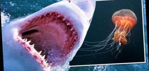 Shark attacks are not the most feared ocean danger – Study finds jellyfish top the polls