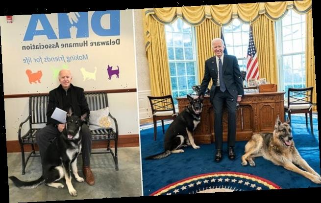 Joe Biden's dogs are taken back to Delaware after a 'biting incident'