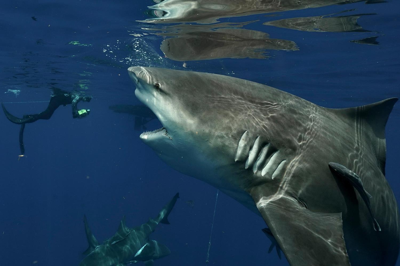 Gargantuan bull shark bares its rows of teeth in terrifying close encounter with free diver off Florida