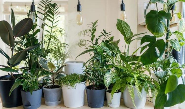 Gardening expert shares common mistake when caring for houseplants – 'can be fatal!'