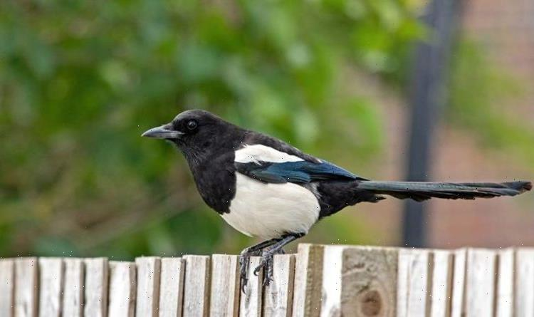 How to get rid of magpies from your garden – 5 quick and easy deterrents