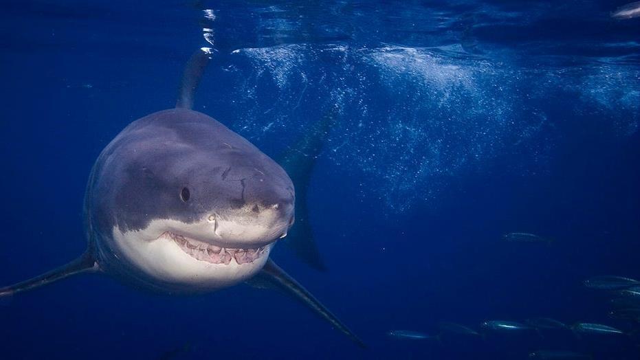 Boy Scout bitten by shark near Catalina Island