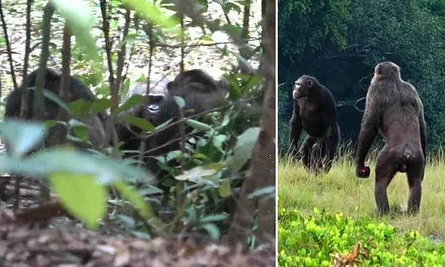 Chimps spotted killing  GORILLAS in Africa for the first time ever