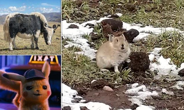Cute pikas feast on YAK FAECES to survive winters without hibernation