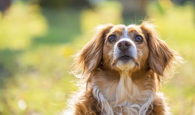 Dog warning after Cocker Spaniel gets bitten by adder – how to save their life