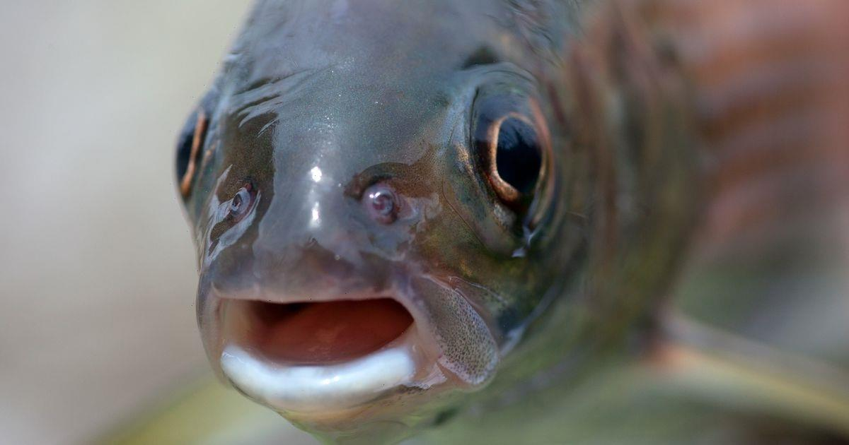 Fish becoming meth heads as humans keep flushing drug down toilets, study says