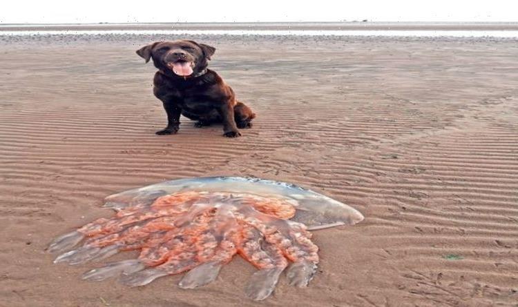 Giant jellyfish larger than a Labrador found on Scottish beach
