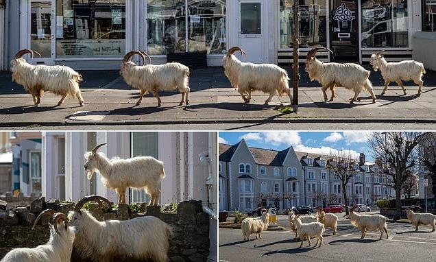 Goats that missed contraceptive jabs due to Covid sent to England