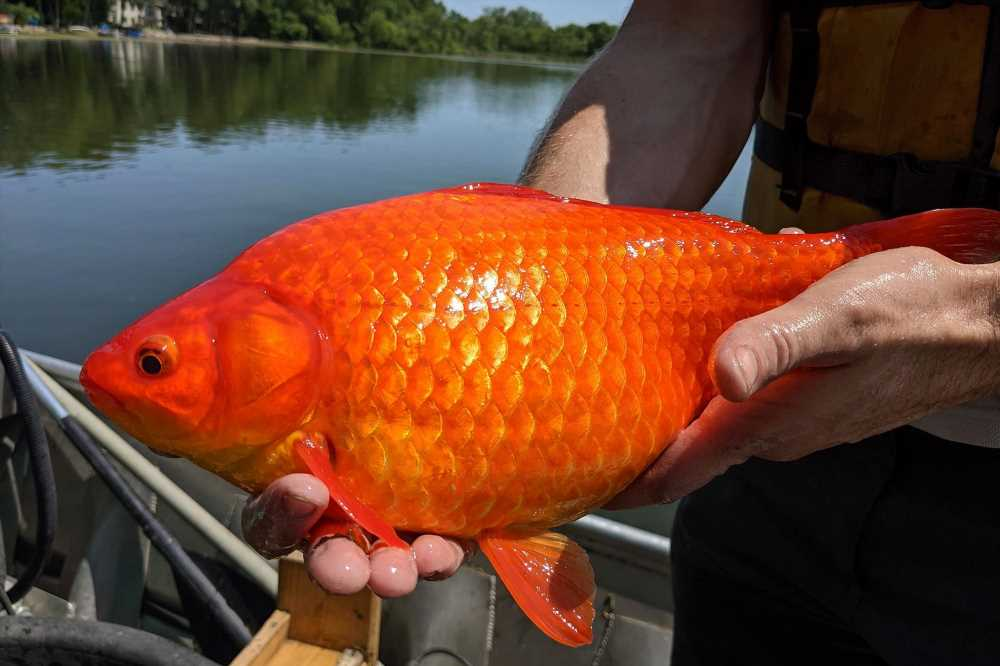 Over 20 large goldfish discovered in Minnesota lake