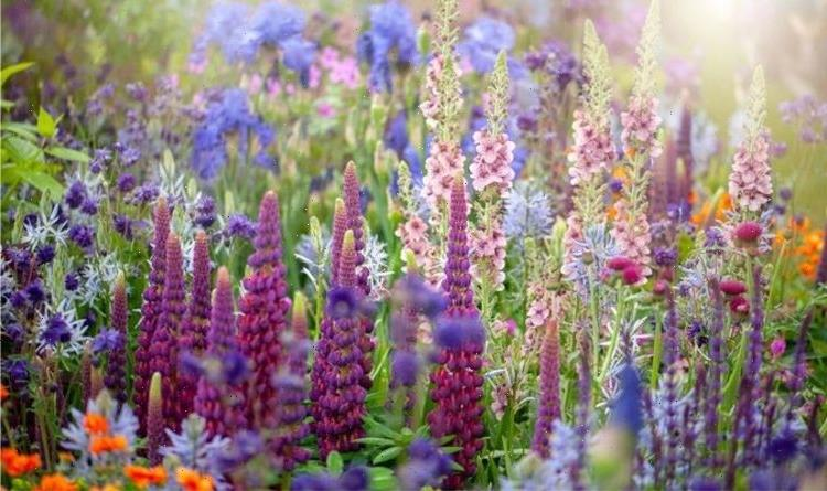 When to cut back lupins: Top tips to maintain a perfect garden