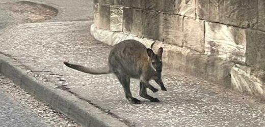Wildlife park staff launch urgent hunt for fugitive Aussie animal