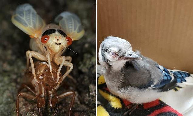 Disease that killed 1000s of US birds may be tied to eating cicadas