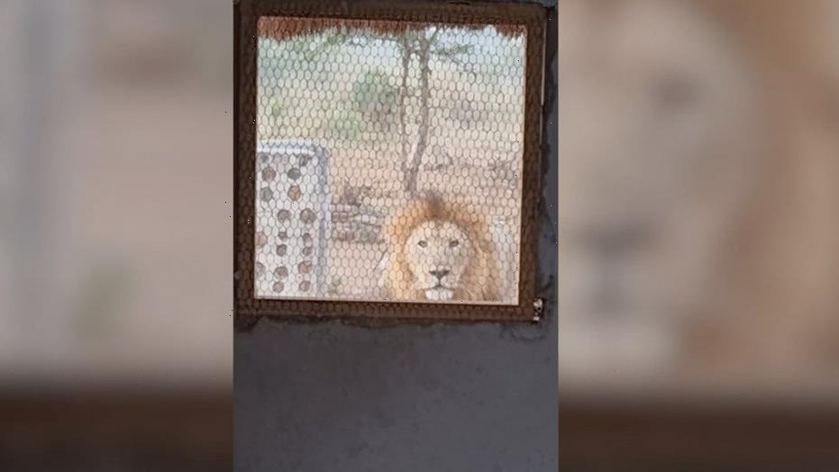 Lion stares, growls at nature guide from outside a kitchen window: video