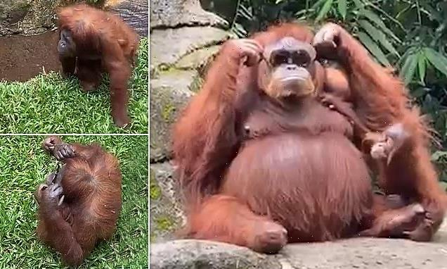 Orangutan wears zoo visitor's sunglasses