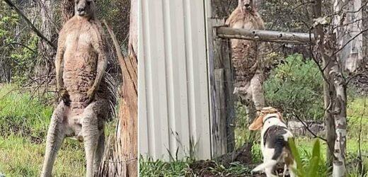 Brave beagle has tense standoff with buff kangaroo in Victoria