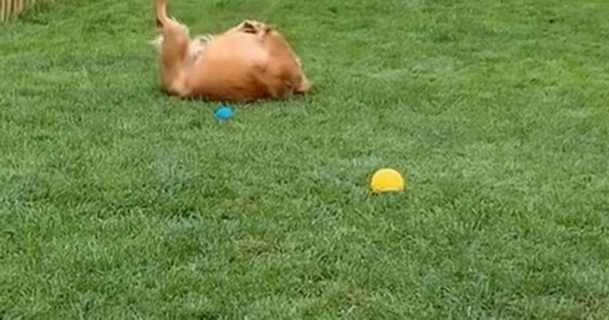 Golden retriever's impressive roly-poly skills leave viewers in stitches