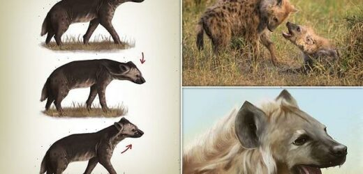 Hyenas nod their heads and make faces when they want to play fight