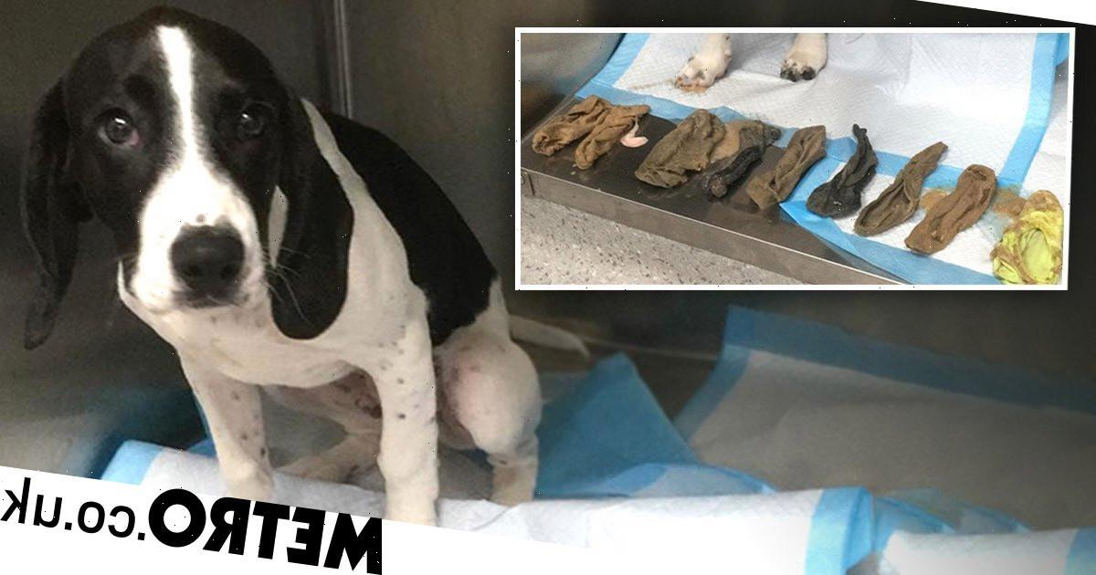 Mischievous dog lucky to be alive after eating nine socks