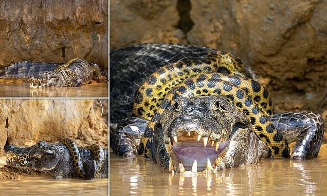 Giant snake v killer croc! Extremely rare battle caught on camera