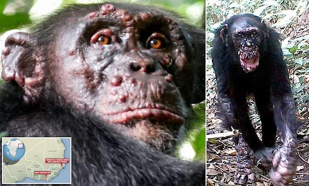 Leprosy is discovered in wild CHIMPANZEES for the first time